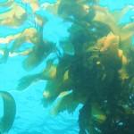 Alga Laminaria proprietà cosmetiche