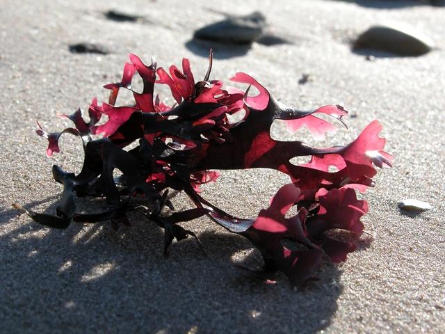 alga chondrus